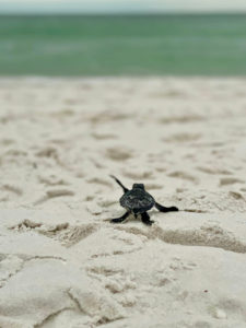 sea turtle crawl