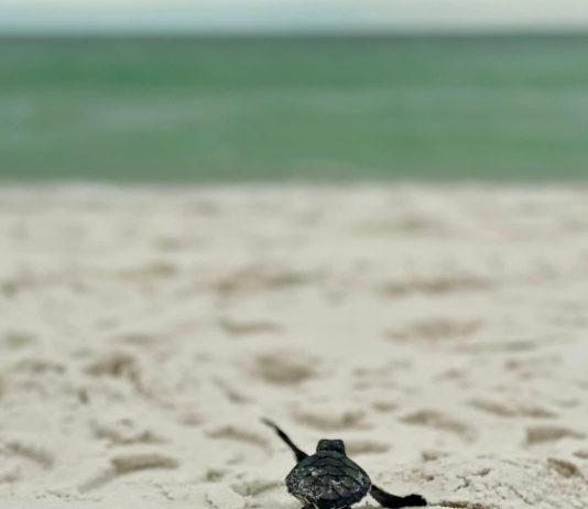 sea turtle crawl